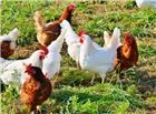 吃草中的农家小鸡图片
