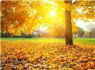 秋天梧桐树下草地落叶图片