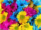 菊花背景高清图片