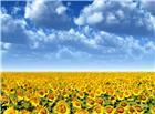 天空下一大片向日葵图片