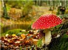 树林中一棵红色的大蘑菇图片