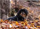 趴在落叶中的黑色小狗图片