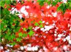 绿色和红色枫叶唯美图片