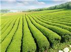 整齐绿油油的茶树图片