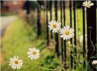 白色菊花微距背景唯美图片