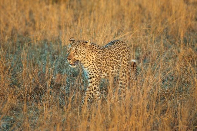 草原枯草中一直漫步的花豹图片(点击浏览下一张趣图)
