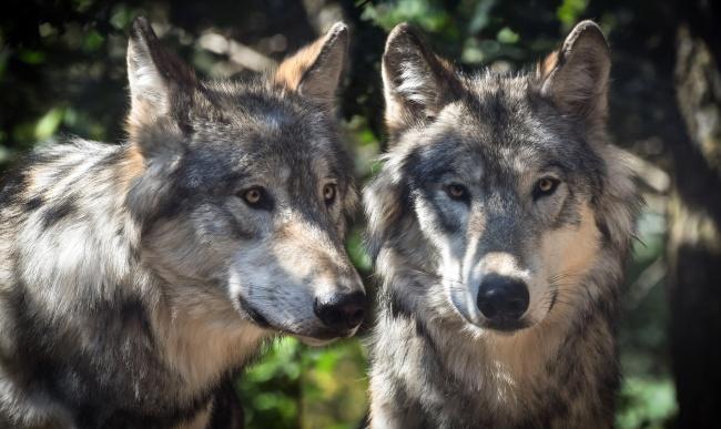 两只帅气的狼头特写图片(点击浏览下一张趣图)