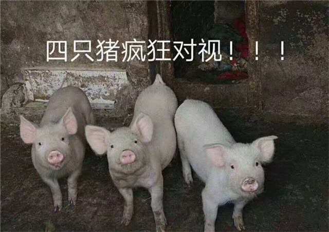 四只猪疯狂对视(点击浏览下一张趣图)