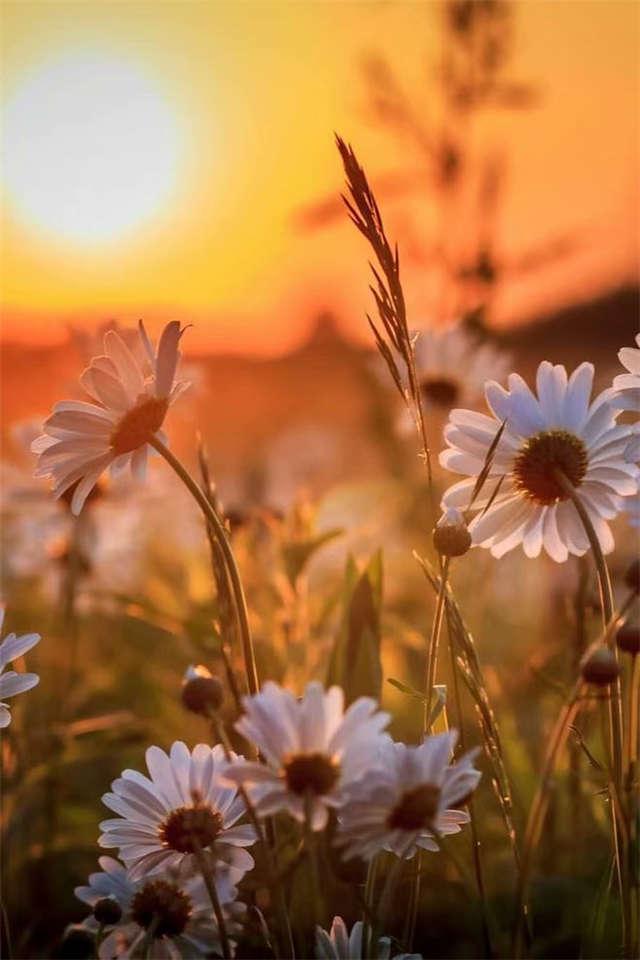 夕阳下白色菊花唯美风景图片(点击浏览下一张趣图)