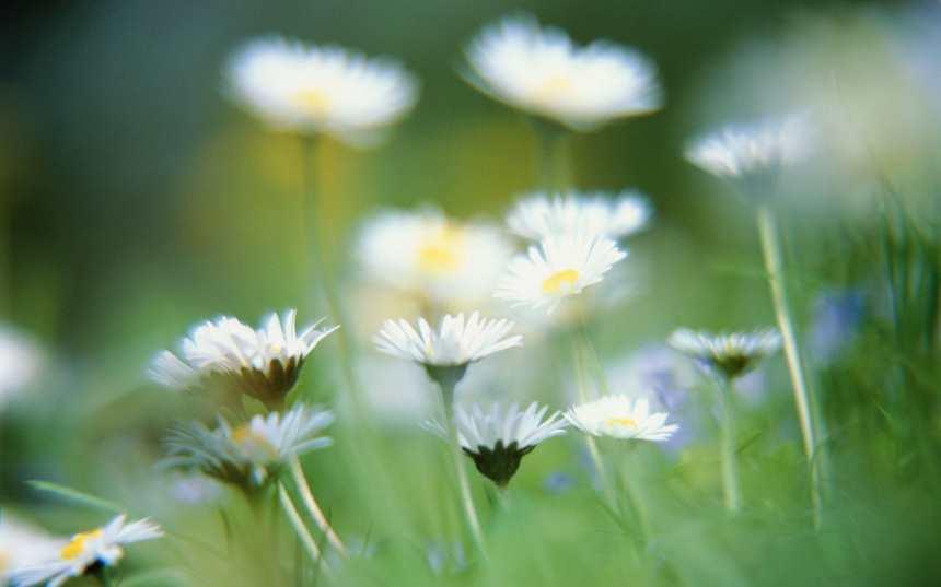 白色小菊花大光圈近景唯美图片(点击浏览下一张趣图)